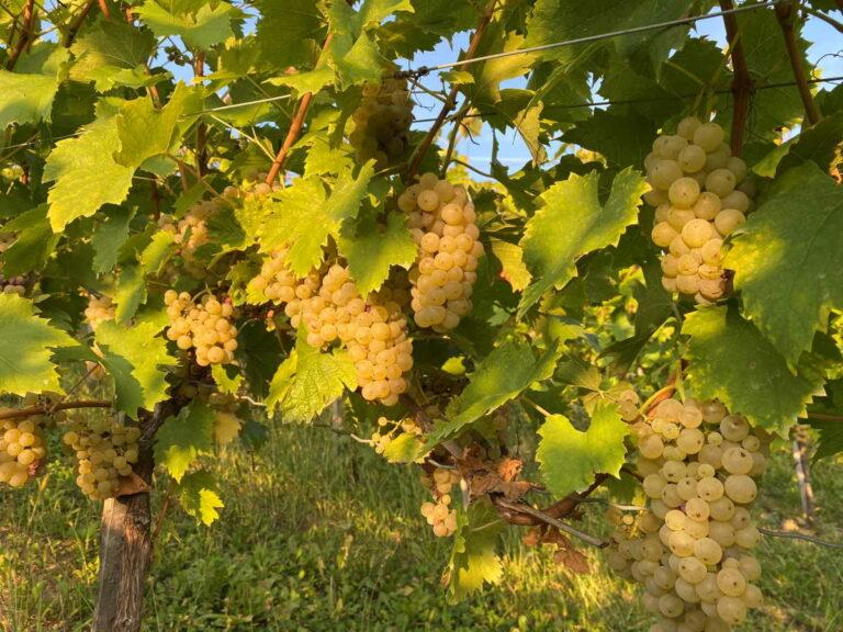 Graševina je najpoznatija hrvatska bijela sorta grožđa