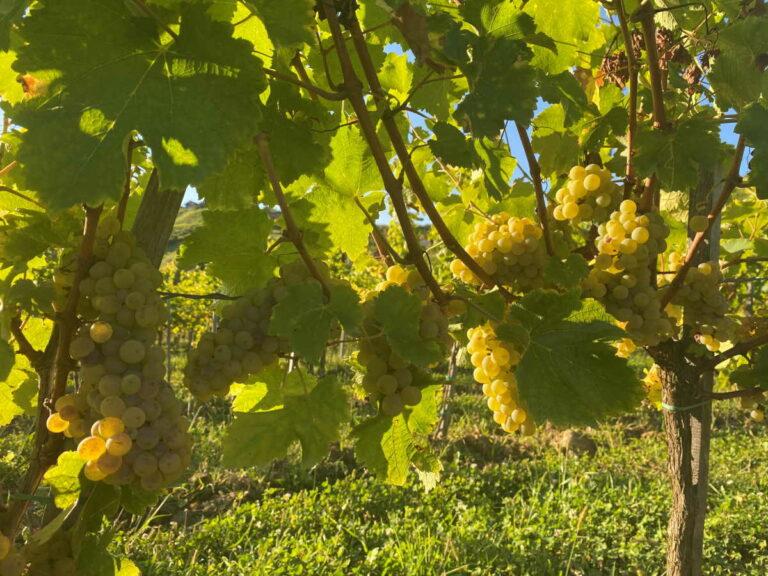Sauvignon blanc je sorta koja daje najprodavanije svježe vino na svijetu, vino oštre i osvježavajuće kiselosti. Ime je francuskog podrijetla – znači bijeli (blanc) divljak (sauvage)