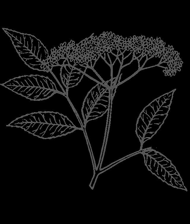 Sauvignon Blanc ima karakterističnu aromu na cvijet bazge