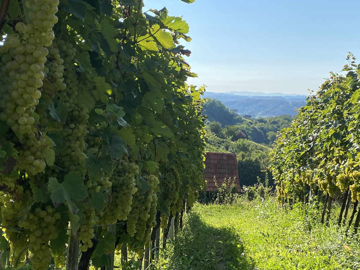 Nagibi vinograda Zdolc daju optimalne rezultate u proizvodnji graševine, sauvignona i sivog pinota